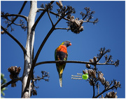 31st Jan 2018 - Rainbow Lorikeet