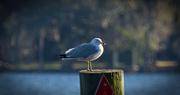 30th Jan 2018 - Seagull on Guard!