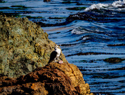 26th Jan 2018 - Osprey Enjoying Dinner on The Rocks