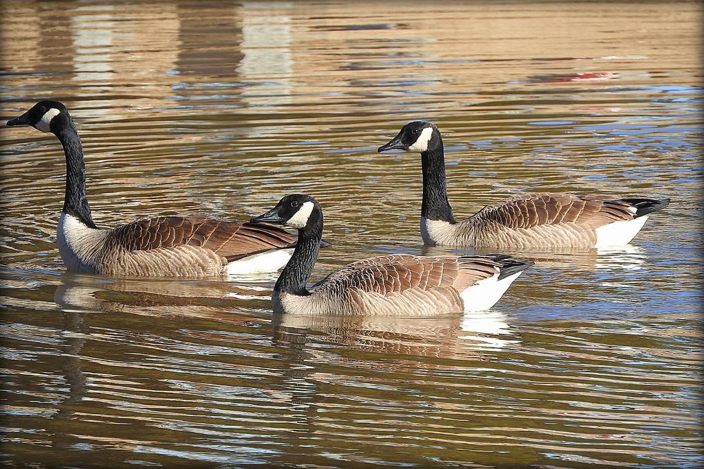 Goose! Goose! Goose! by homeschoolmom