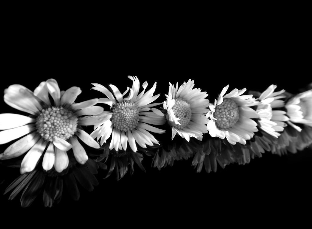 Daisy chain by suzanne234