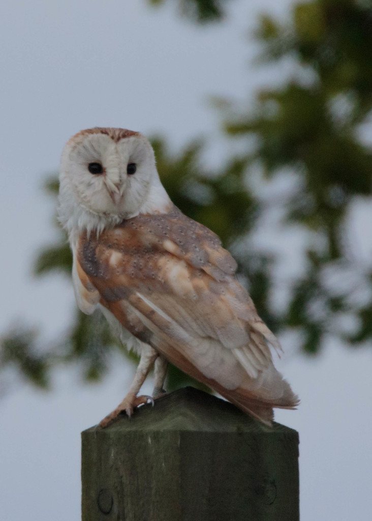 Barn Owl-large and close by padlock