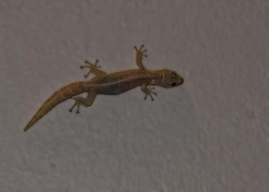Gecko by salza