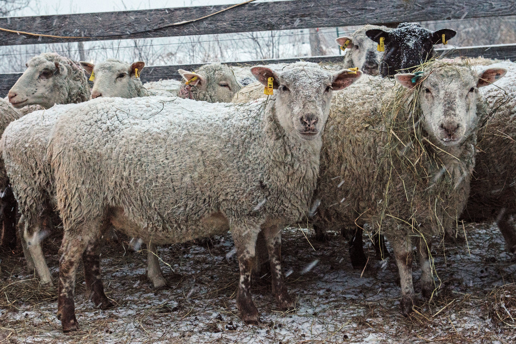 Snowy Sheep  by farmreporter
