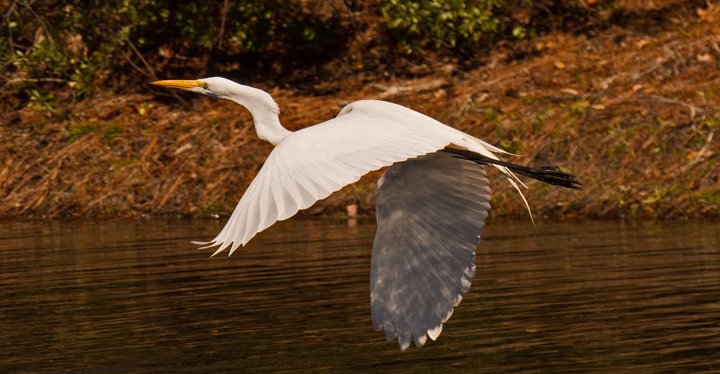 Egret on the Fly-a-way! by rickster549