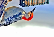 31st Jan 2018 - Red Bellied Woodpecker