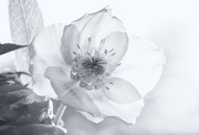 1st Feb 2018 - Lenten Rose
