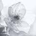 Lenten Rose by pamknowler