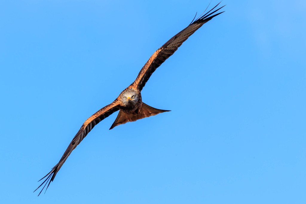 Red Kite making eye contact by padlock