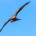 Red Kite making eye contact by padlock