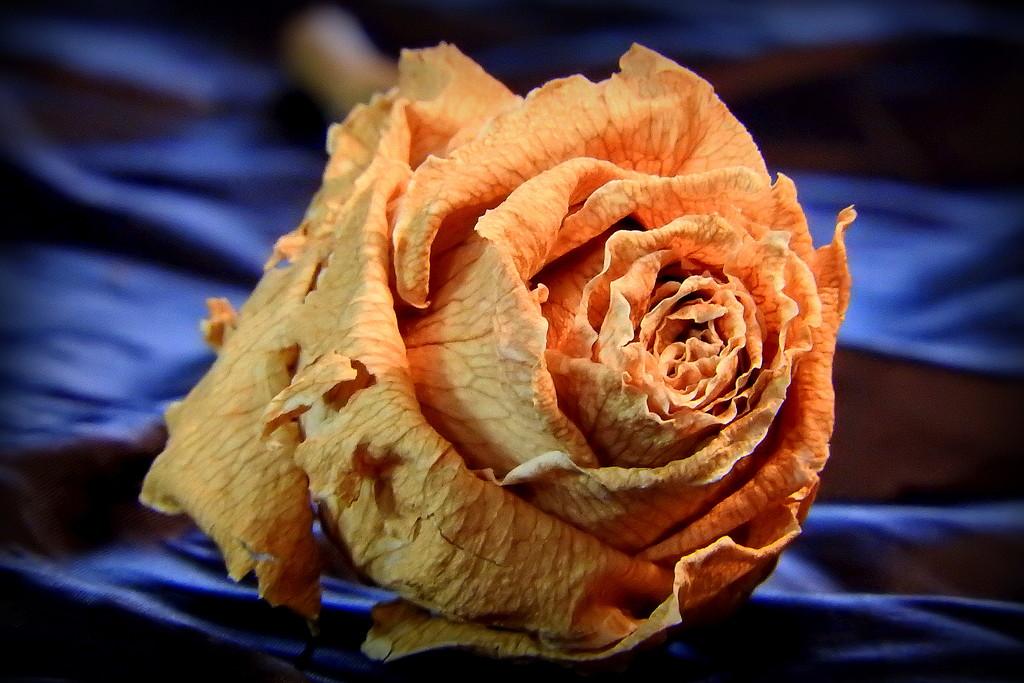Dried Rose by homeschoolmom