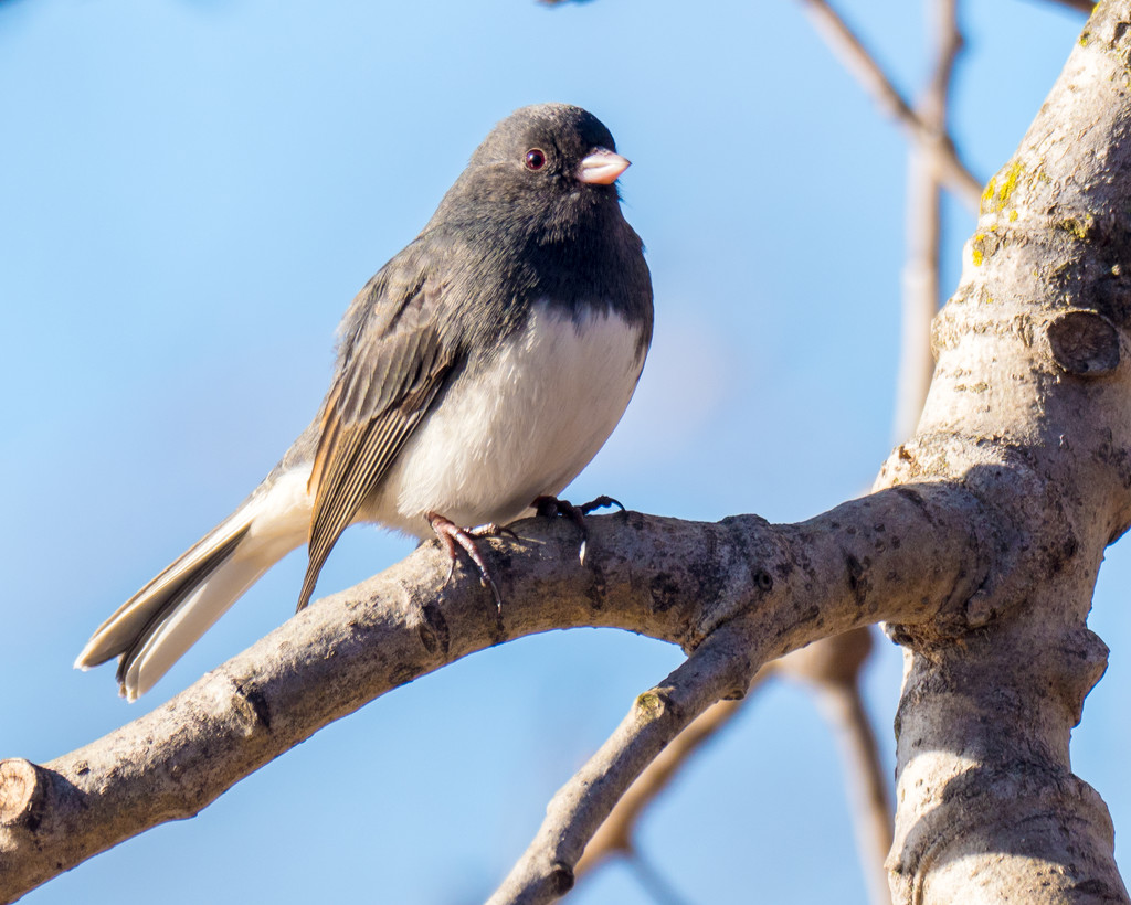 Junco on a branch by rminer