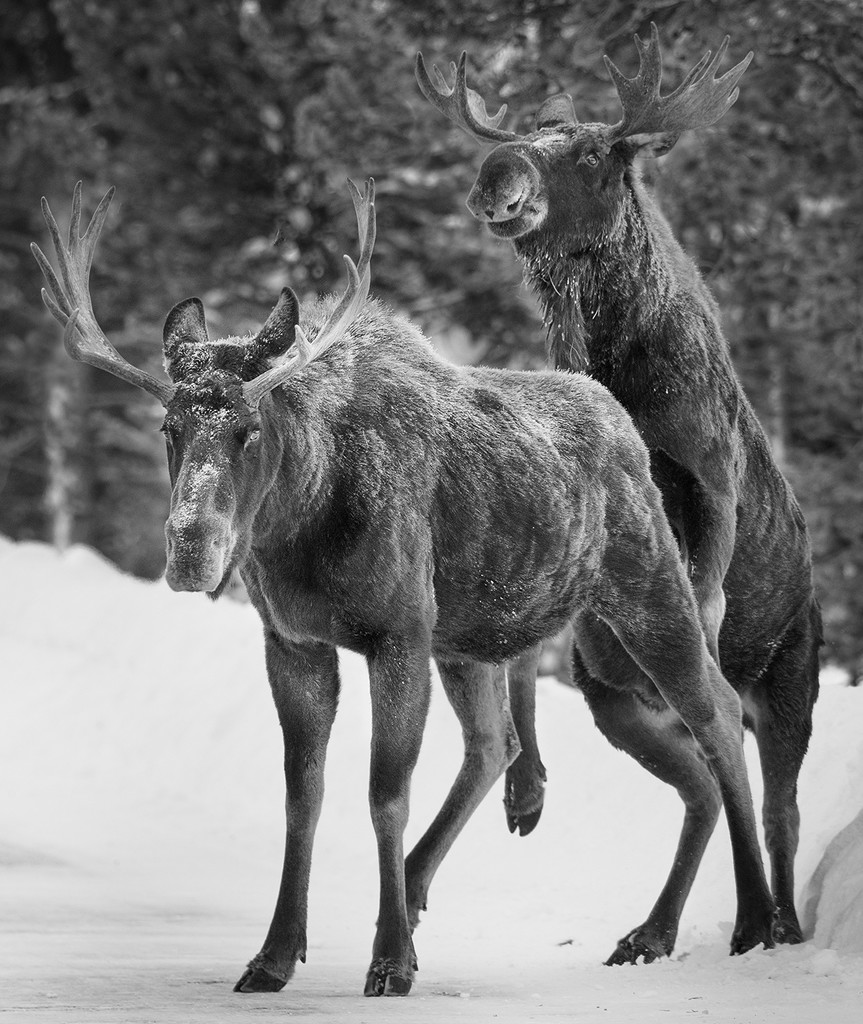 Moose Mount by jgpittenger