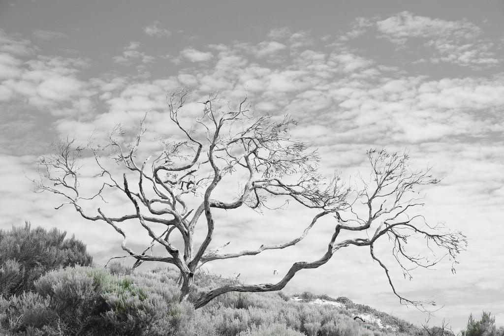 Old Gum Tree by 30pics4jackiesdiamond