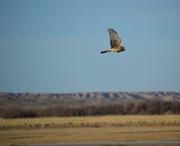 2nd Feb 2018 - red tail hawk at Ladd S. Gordon wildlife preserve
