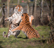 2nd Feb 2018 - Tigers playing