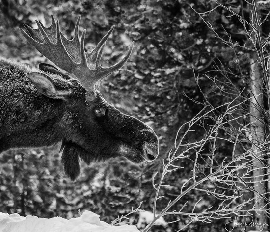 Moose Stretch  by jgpittenger