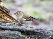 2nd Feb 2018 - Female Chaffinch
