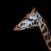 2018 02 02 - Giraffe
