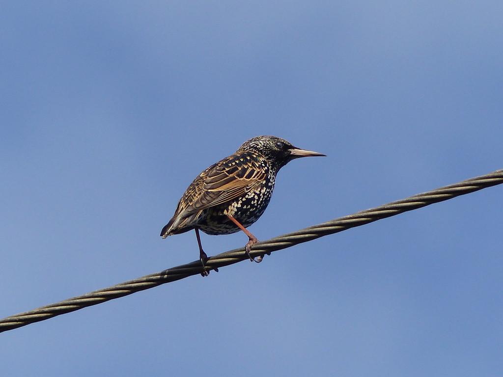 Starling  by susiemc