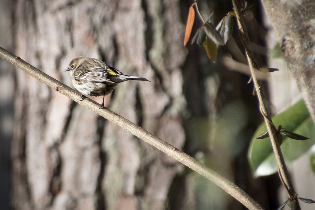 Yellow Rumped Warbler by darylo