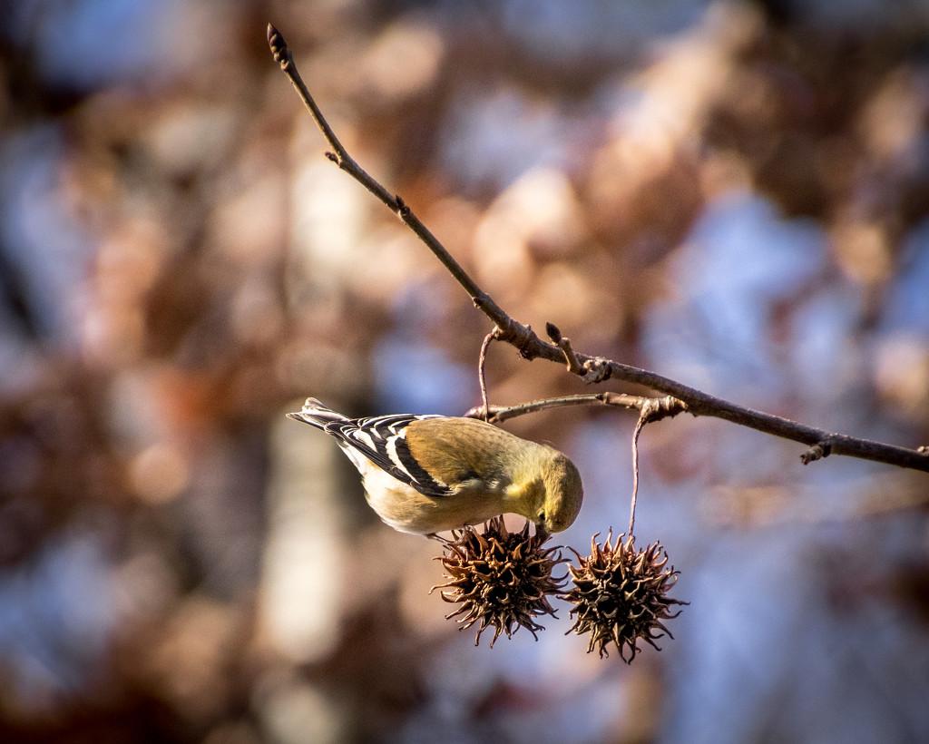 Nature's bird feeder by darylo