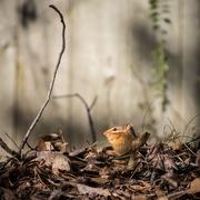 2nd Feb 2018 - Chipmunk in the Morning Light