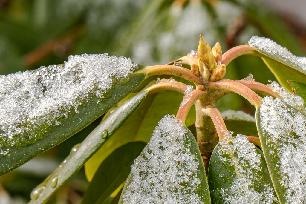 rhododendron by jernst1779