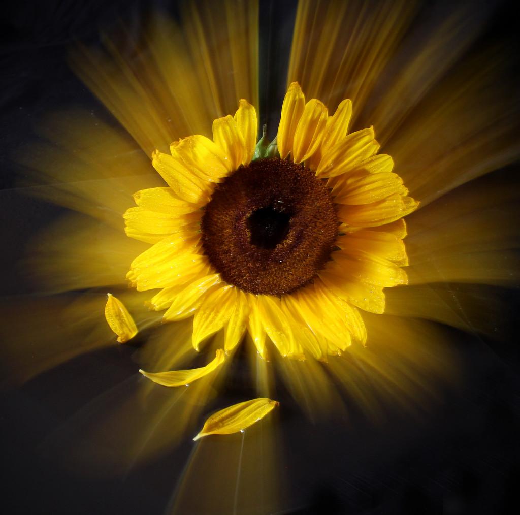 sun like sunflower by sdutoit