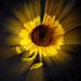 sun like sunflower