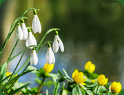3rd Feb 2018 - Snowdrops And Aconites