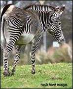 3rd Feb 2018 - I adore zebras