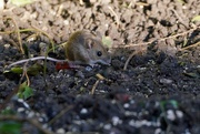 2nd Feb 2018 - WOOD MOUSE