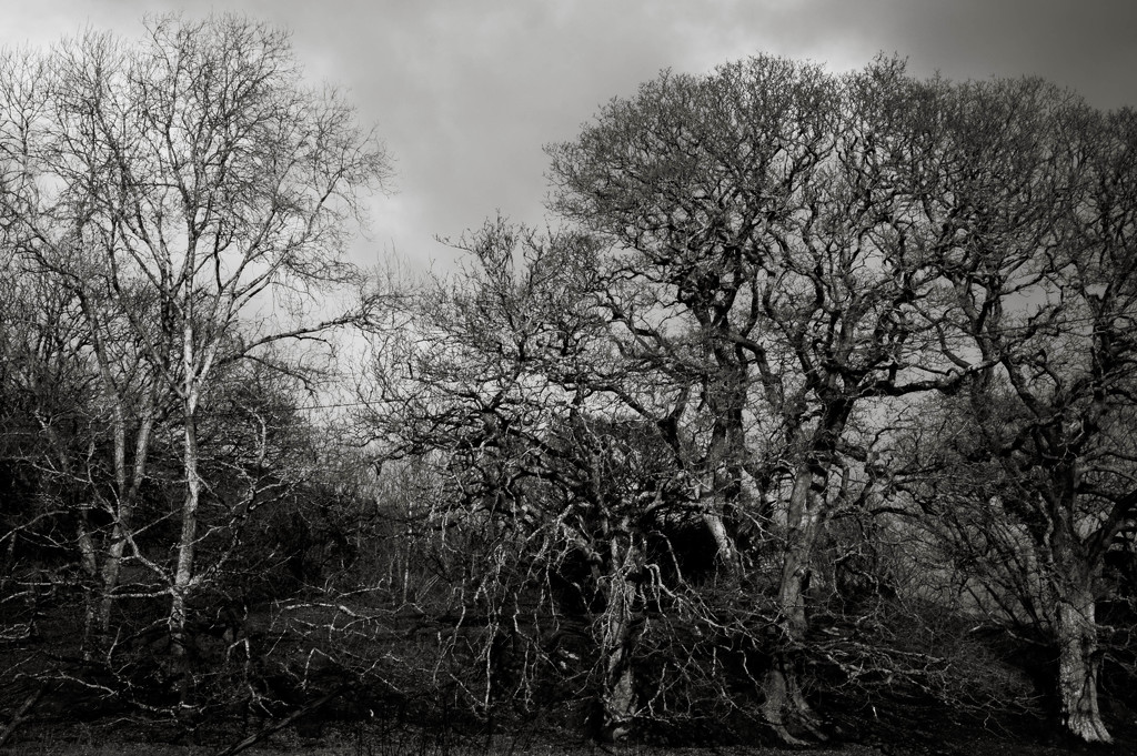 Old oaks by overalvandaan