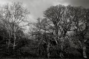 3rd Feb 2018 - Old oaks