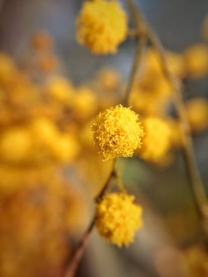 Mimosa.  by cocobella