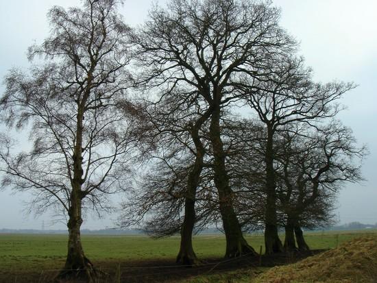 oak trees by gijsje