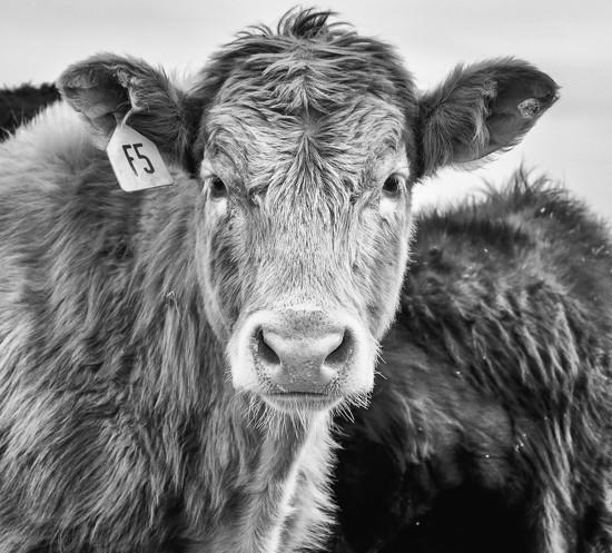 bovine nose by aecasey