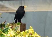 4th Feb 2018 - Mr Blackbird , sing me a song