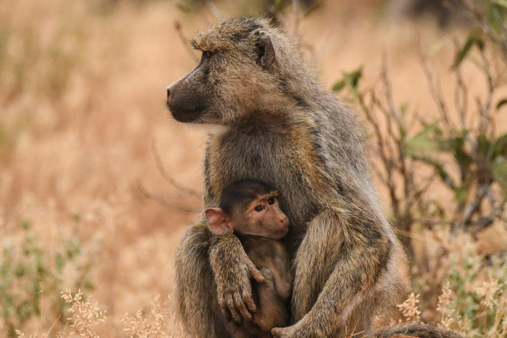 Baboon Mother and Baby by kareenking
