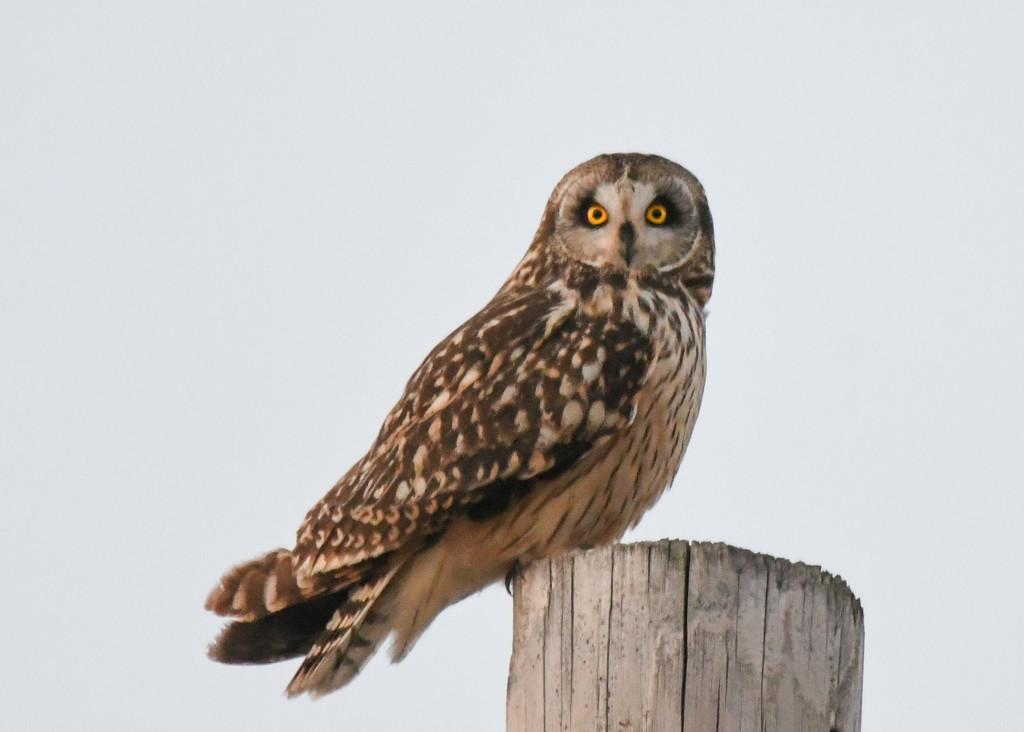 Short-Eared Owl by kareenking