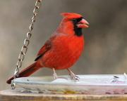 3rd Feb 2018 - Cardinal Love