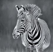 4th Feb 2018 - Zebra cropped