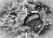 4th Feb 2018 - Butterfly
