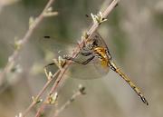 4th Feb 2018 - Dragonfly