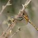 Dragonfly by salza
