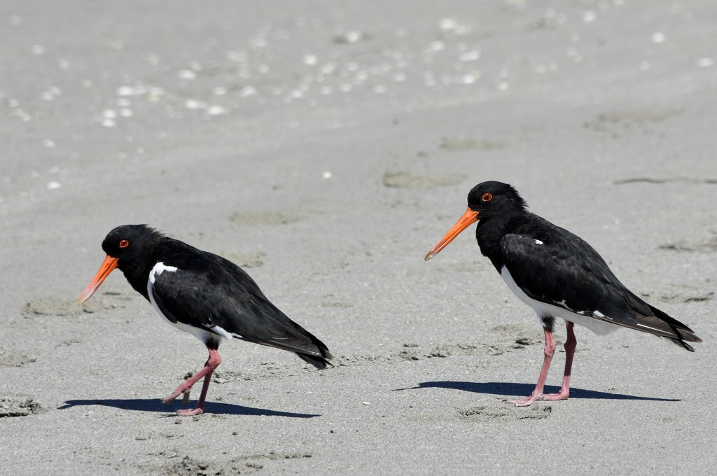 Hungry Oyster Catchers_DSC2725 by merrelyn