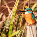 Male Kingfisher-worth carrying a heavy lens for!!!