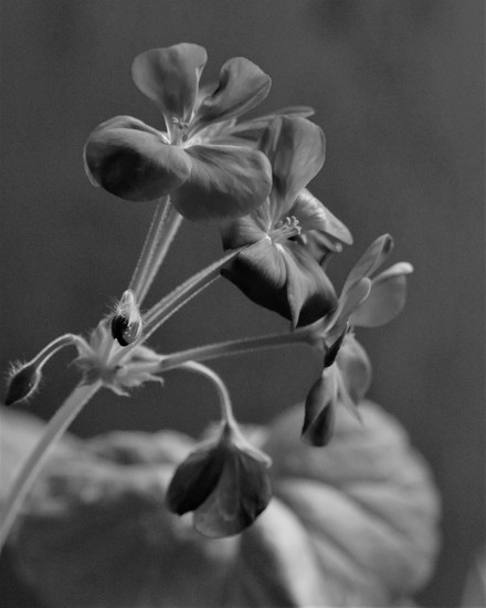 Red Geranium in Black and White by daisymiller