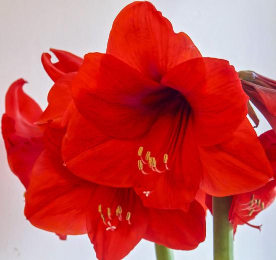 Amaryllis by tonygig